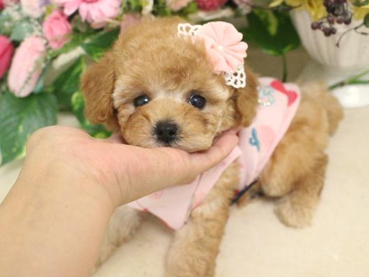 7月7日産まれ・クリーム・女の子・タイニープードル小さめ01