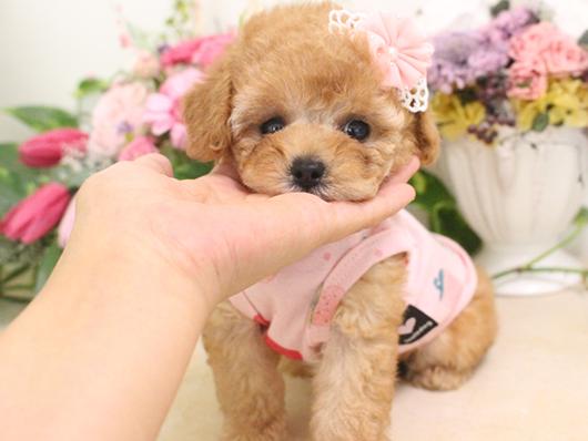 7月7日産まれ・クリーム・女の子・タイニープードル小さめ02