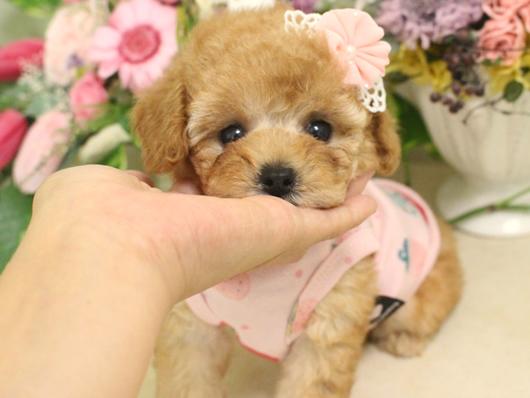 7月7日産まれ・クリーム・女の子・タイニープードル小さめ03