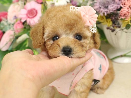 7月7日産まれ・クリーム・女の子・タイニープードル小さめ04