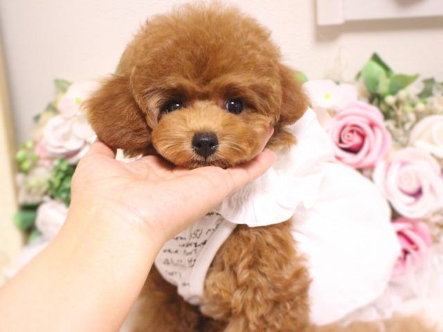 成犬予想サイズ2キロ~2、5キロ前後の女の子01