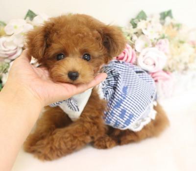 8月8日生まれ タイニー小さめ予想  レッド  さんちゃん01