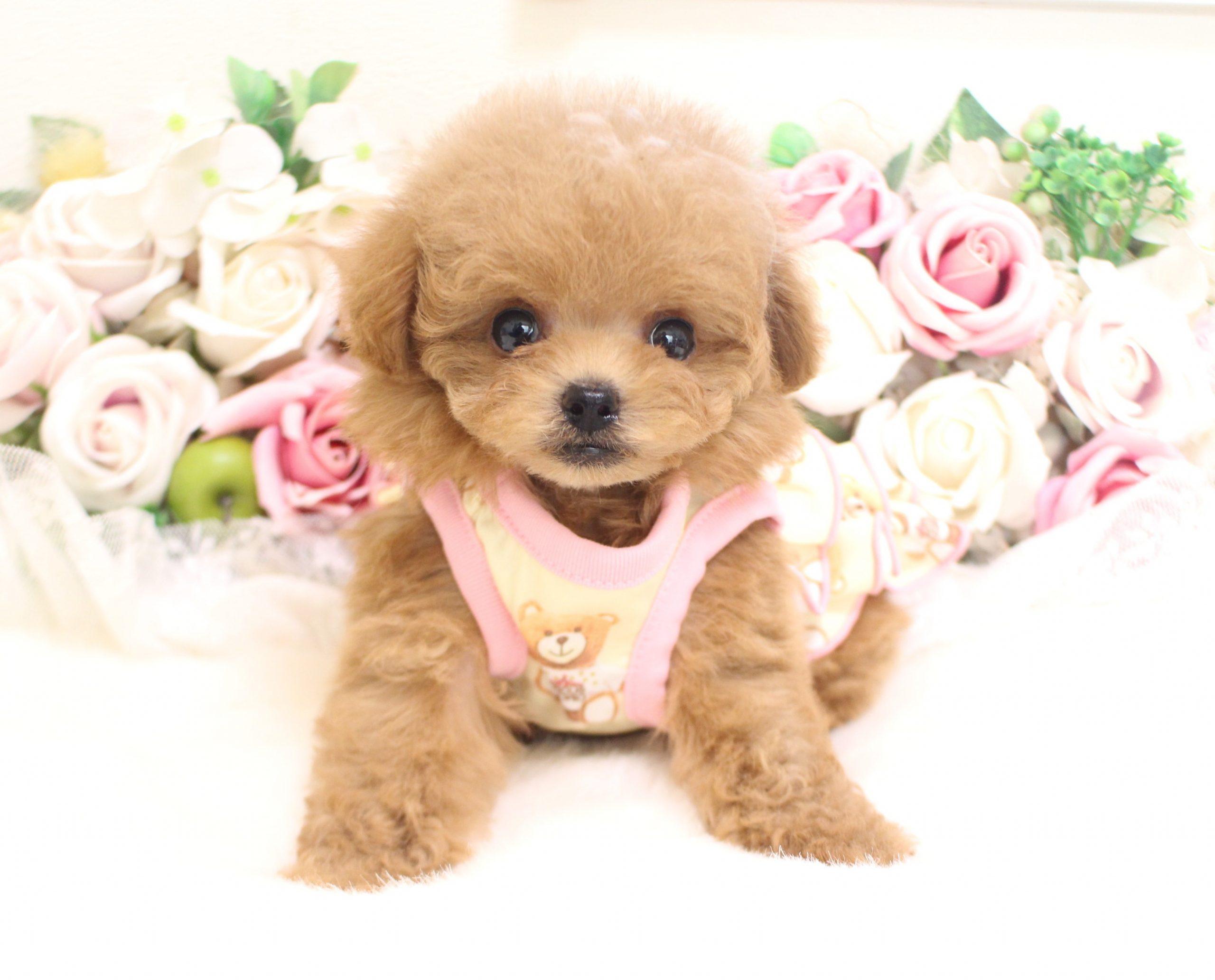 3月3日生まれ  女の子  ティーカップ予想  激カワちゃん01