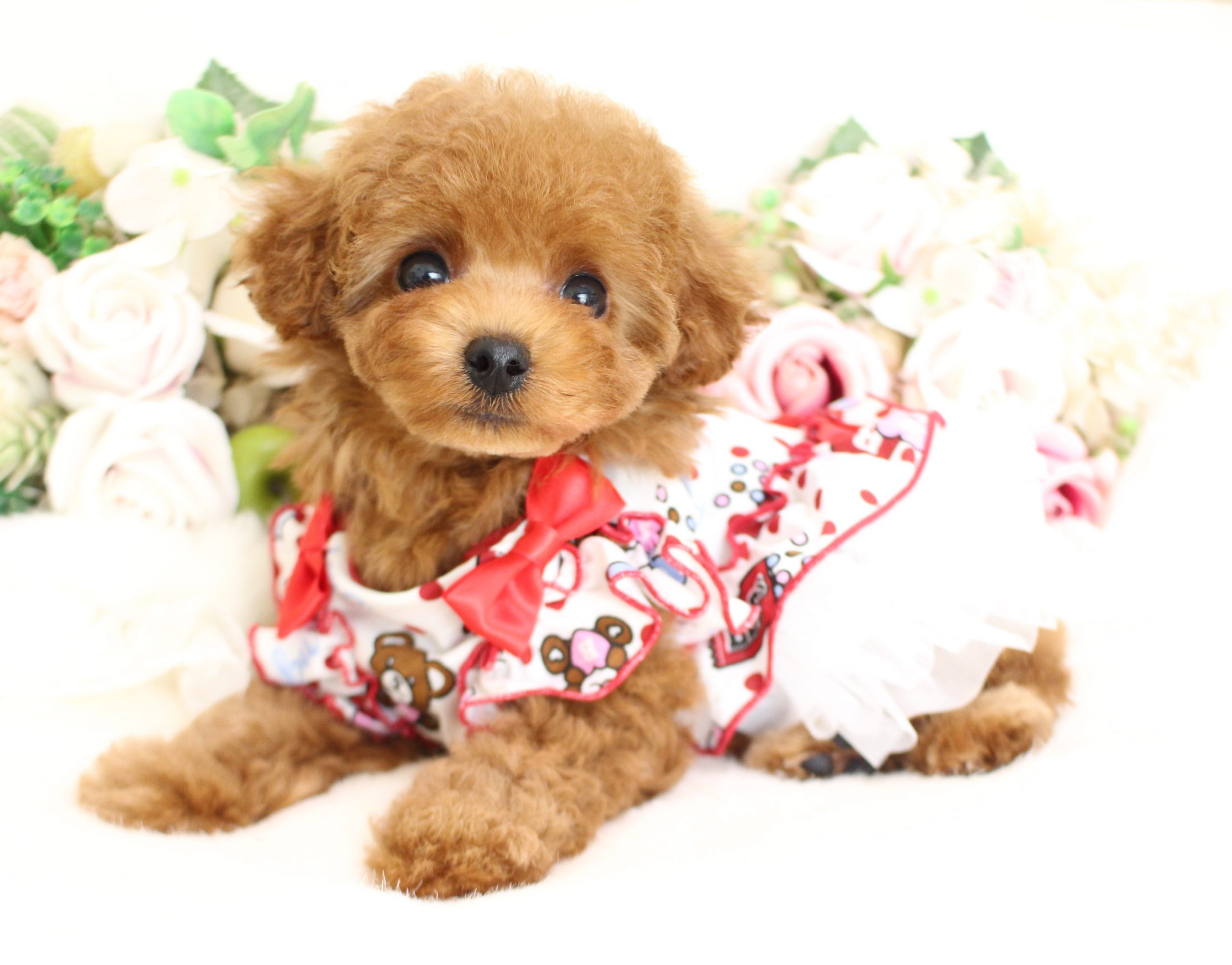 5月2日生まれ  アプリコット  女の子 タイニー01