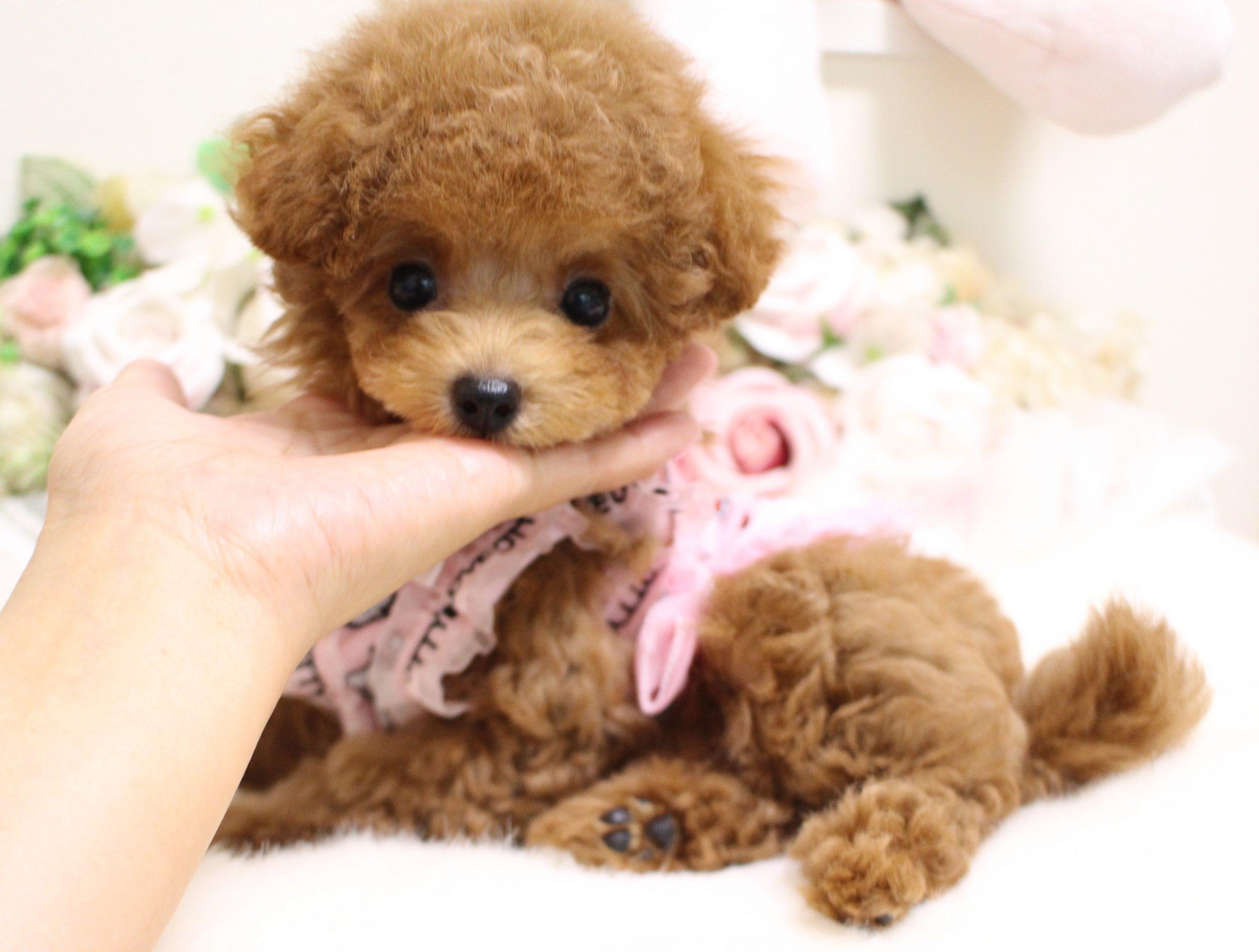 4月27日生まれ  女の子  アプリコット  ティーカップ大きめタイニー小さめ01