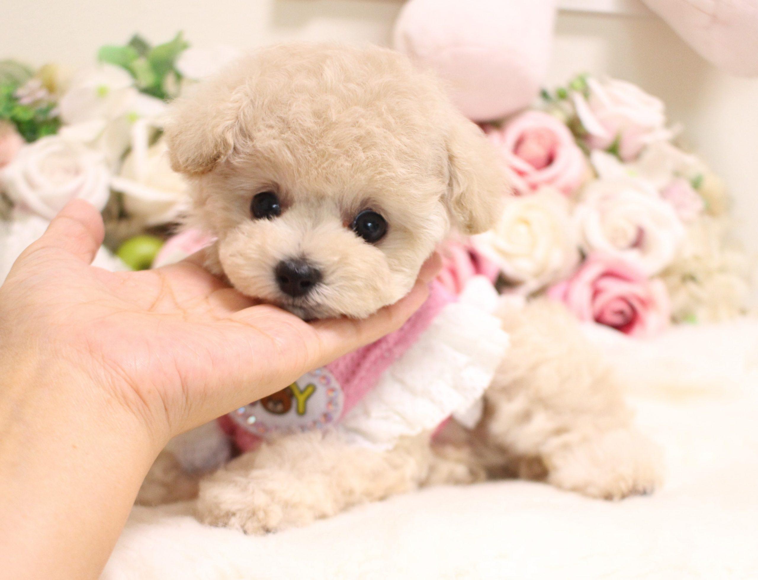 6月4日生まれ  クリームの女の子  ティーカップ大きめ予想♡04