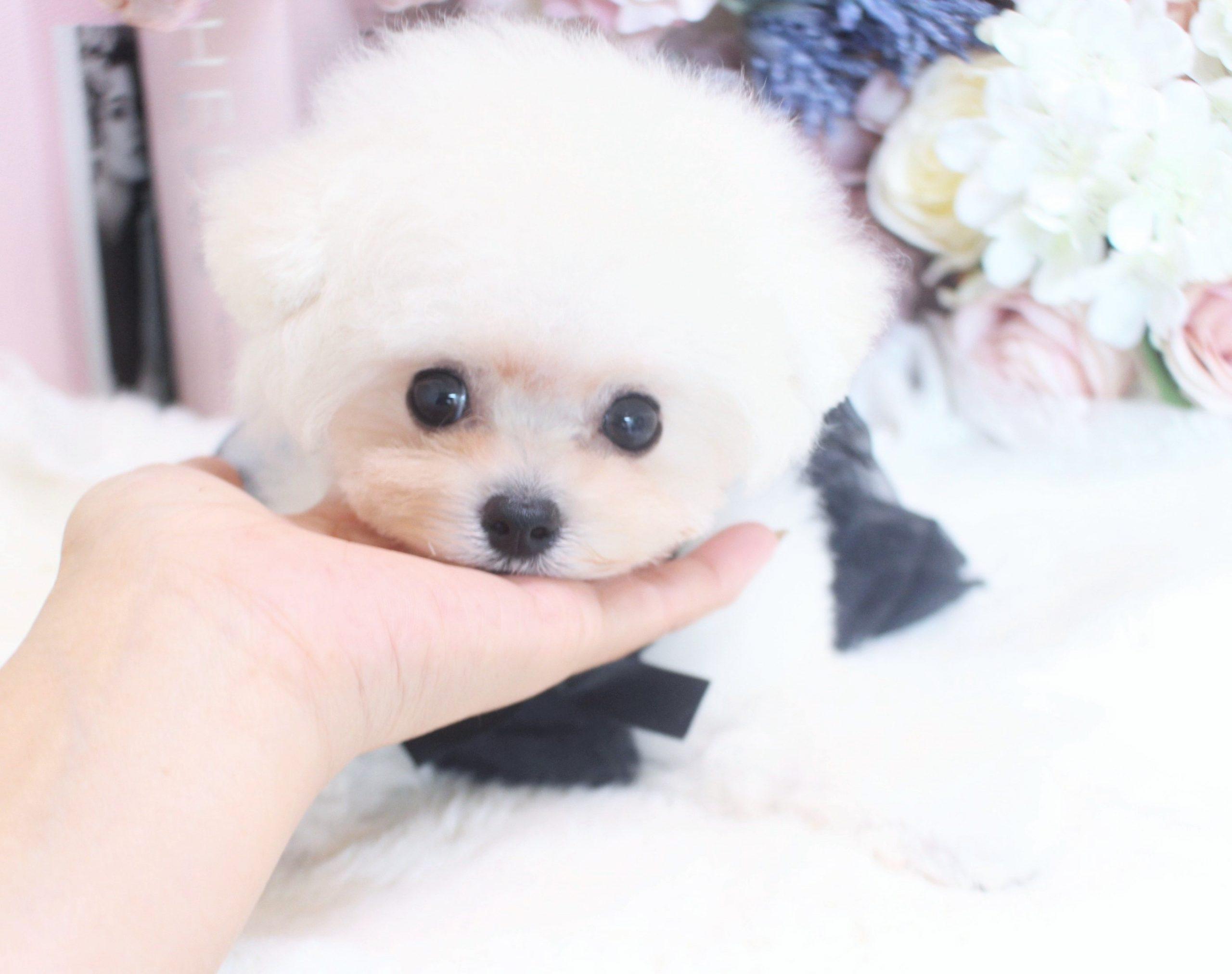 4月16日生まれの男の子♡ティーカップ小さめ予想02